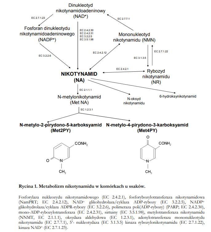 nikotynamid i szlak rezerwowy syntezy NAD+ schemat